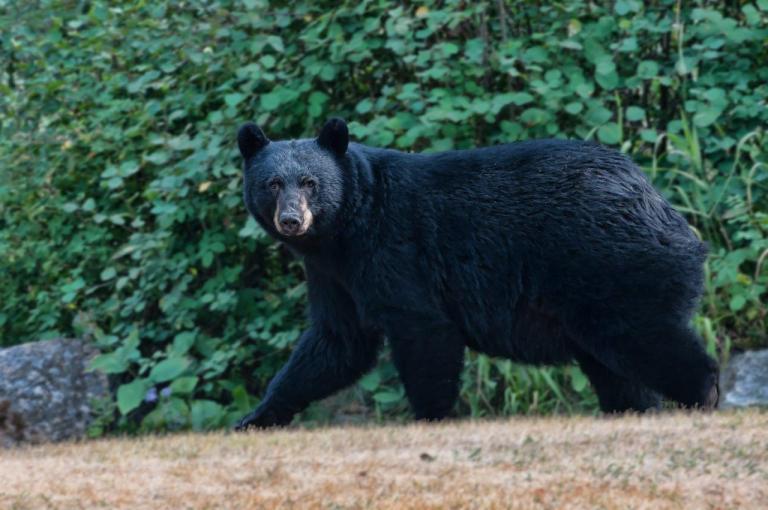 Bears at Ruth Lake Lodge Resort