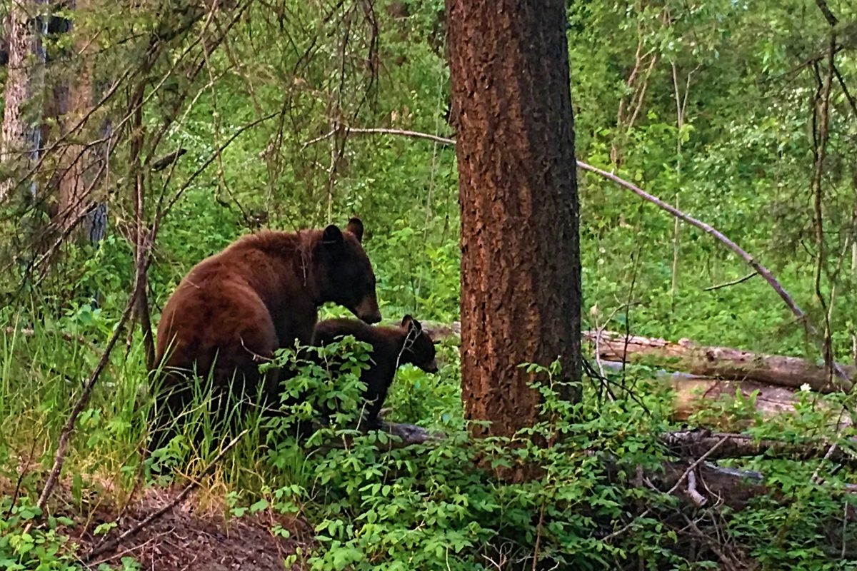 Beers and Bears at Ruth Lake Lodge Resort