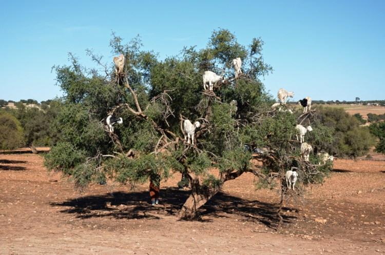 Albero con capre nella valle d'Argan
