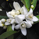 neroli-essential-oil for anti-wrinkle cream
