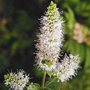 spearmint-essential-oil for hair conditioner