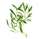 tea-tree- for best hair loss shampoo recipes