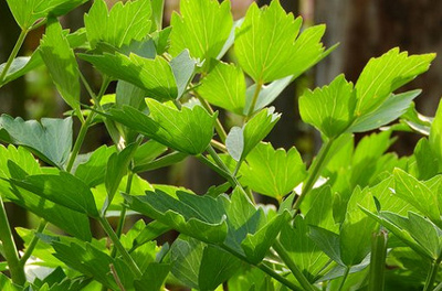 lovage a dependable diuretic