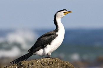 Little Pied Cormorant, Cape Paterson, Victoria