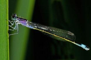 Große Pechlibelle ♀immature