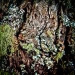 Moss on Bark Copyright Ruth Valasini 2013