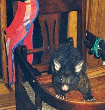 Sneaky Possum