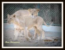 couple lions