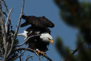 Bald Eagle, Spring, 2011