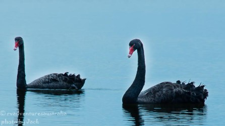 Black swans, Myall Lake