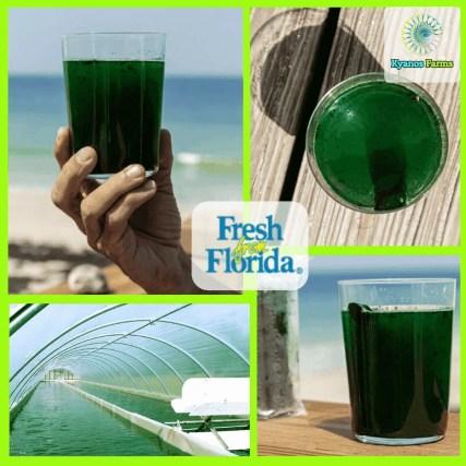 Fresh Spirulina