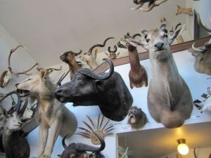 The Alaska Fur Exchange displays game trophies collected by native hunters