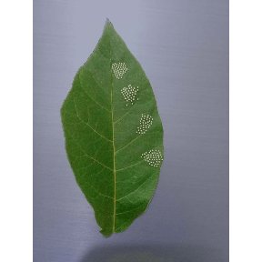 Image of leaf with seeds to be counted