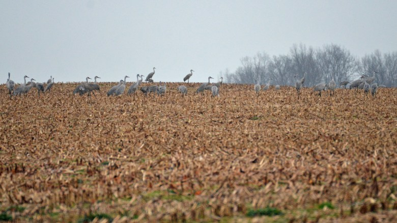 Hundreds of birds in  Kentucky cornfield