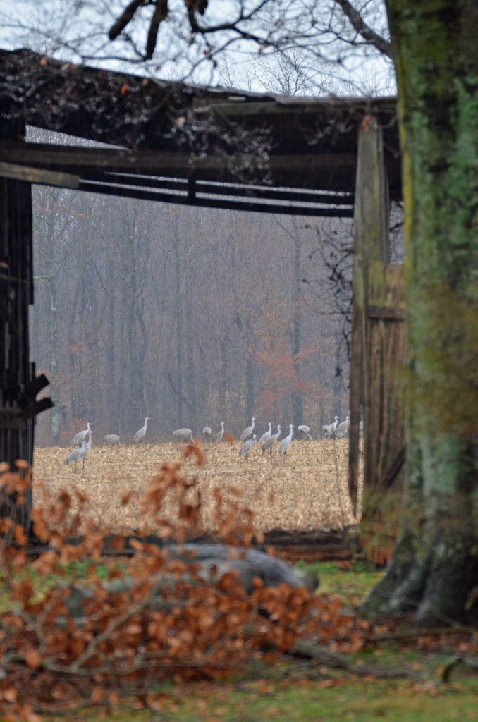 Barren River Lake State Park become daytime feeding areas for the Sandhill cranes during migration