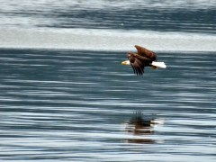 Bald eagle soaring at Lake Guntersville State Park in Alabama