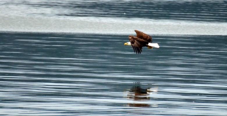 Bald eagle soaring at Lake Guntersville State Park in Alabama