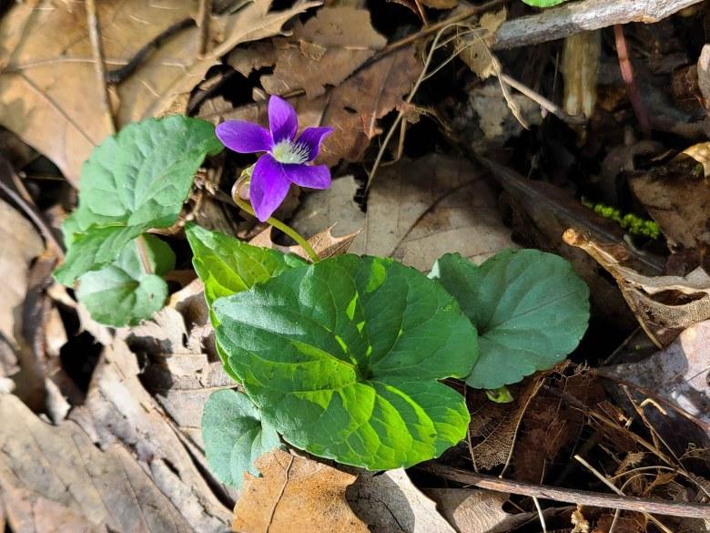 A wild violet announcing spring.