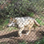 Silver Gypsy:  California Wolf Center