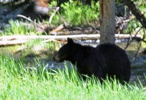 Mama Black Bear Watching Her Cubs