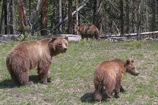Mama Grizzly with Juvenile Cubs, Yellowstone National Park