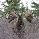 What NOT to Do When You Find Moose in Rut Season