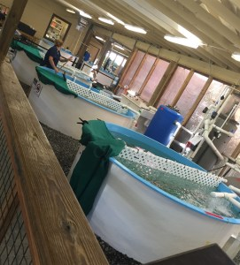 some of the holding tanks at the turtle center