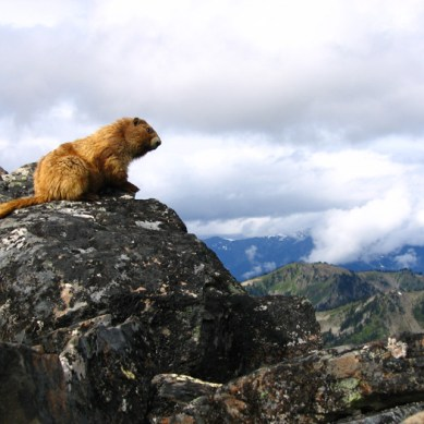 Olympic National Park Seeks Volunteers to Survey Marmots