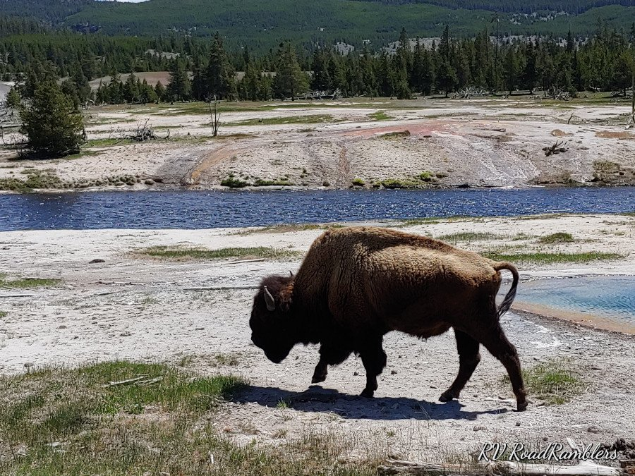 Bison at Fairy Falls Trail