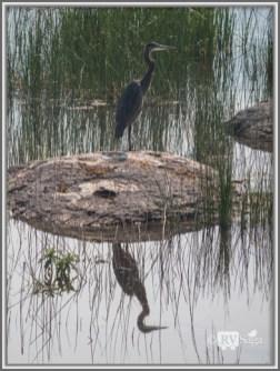 A Blue Heron, Eagle Lake, California