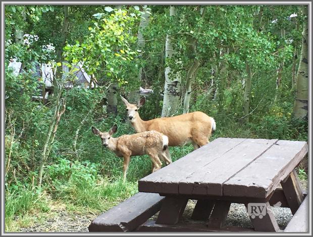 Deer at Silver Lake Campground