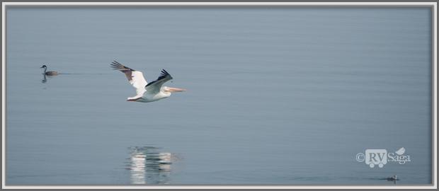 A Flying Pelican, Eagle Lake