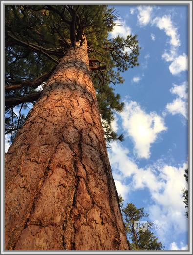 A Ponderosa Pine