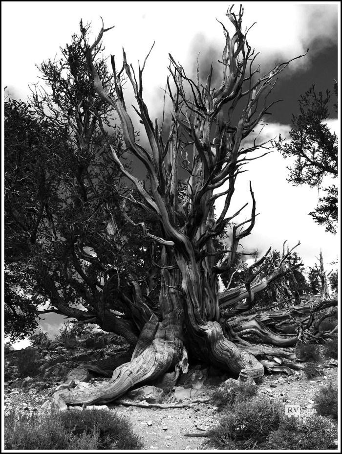 Ancient-Bristlecone-Pine-Defying-Erosion