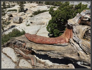 A Bent Sierra Juniper at Olmsted Point