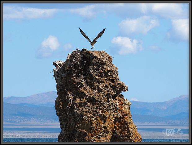 Osprey Spreading Wings On Tufa Tower