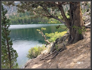 Sierra Junipers by Gull Lake