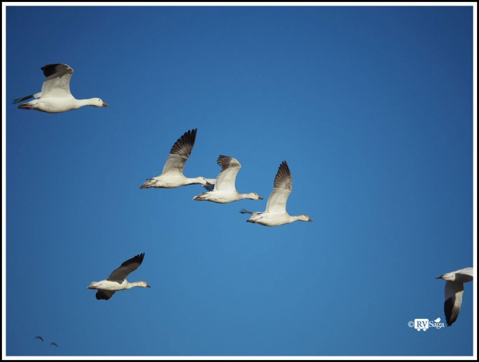 Snow Geese in Flight at Bosque