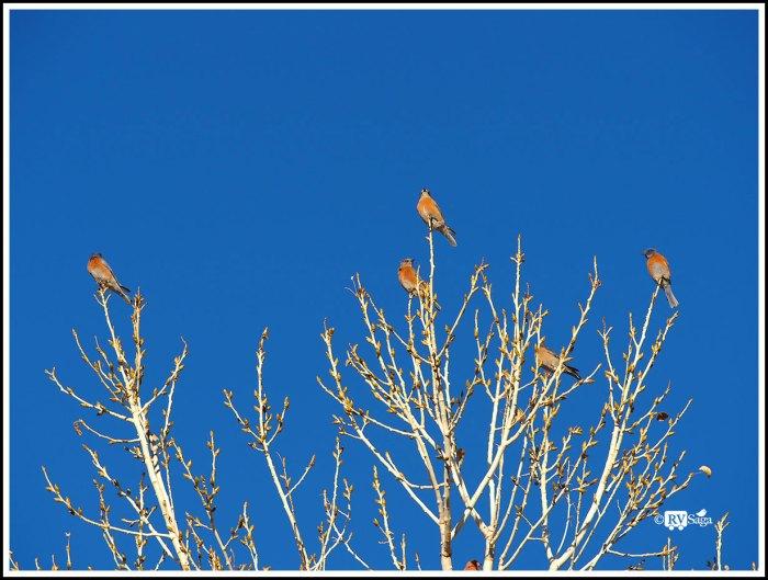 A Family of Bluebirds