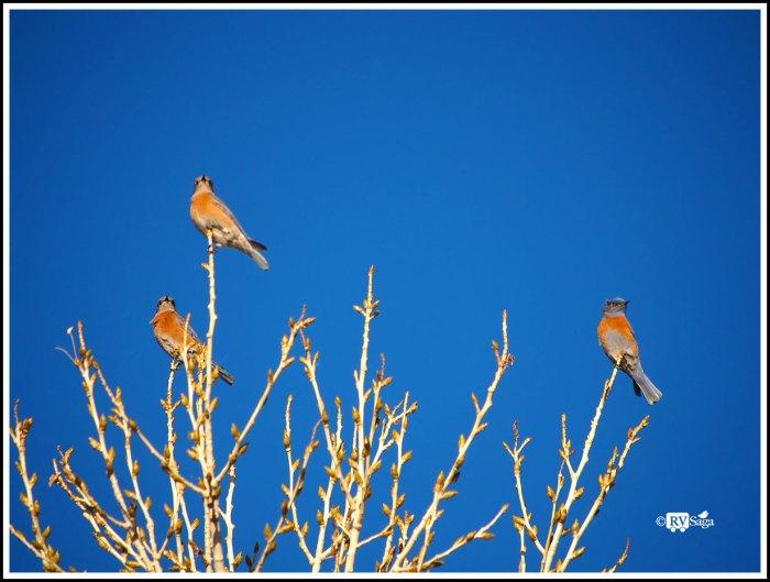 Bluebird Trio