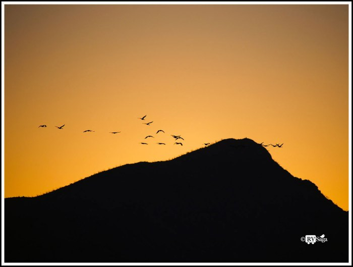 Sandhill Cranes Flying to Corn Fields Before Sunrise on First Day of 2018