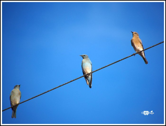 Bluebirds Trio