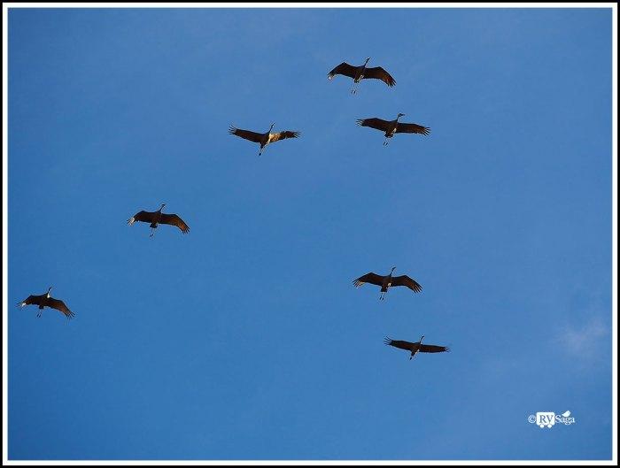 Sandhill Cranes Flying at Dusk