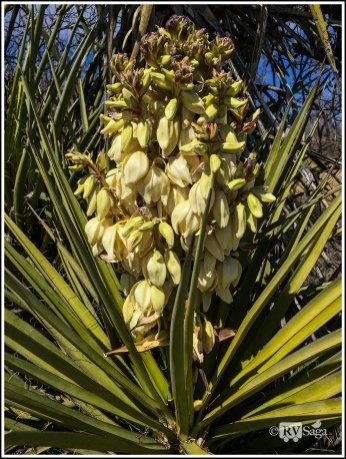 Banana Yucca. Living Desert Zoo & Gardens at Carlsbad. New Mexico