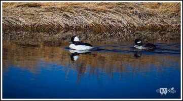 Bufflehead Couple