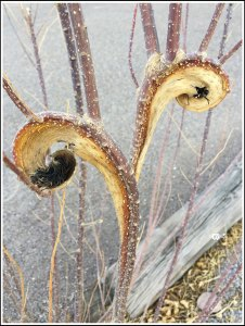 Branches Resemble the Frond of Fiddlehead Ferns