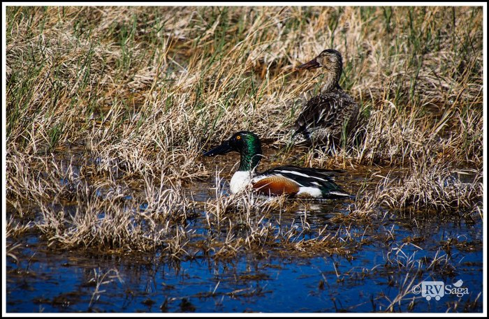 Northern Shoveler Couple