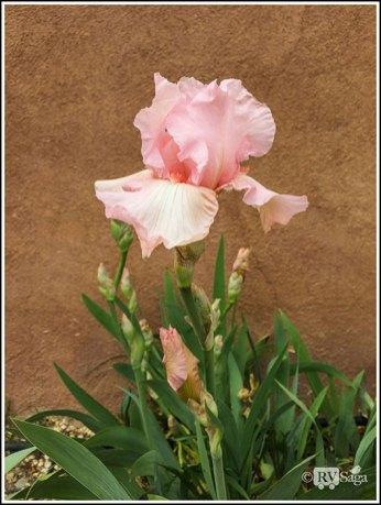Elegant Pink Irises