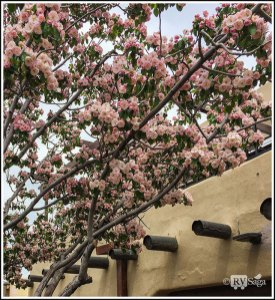 Flowering Tree Arching Over A Building at the Taos Plaza