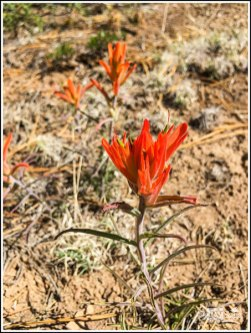 Indian Painted Brush